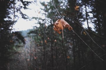 Leaves Cling onto Tree Branches