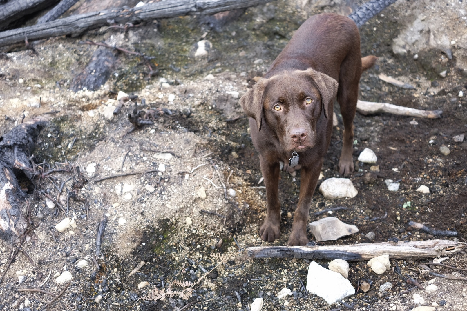 Not the best cover for a Chocolate Lab.